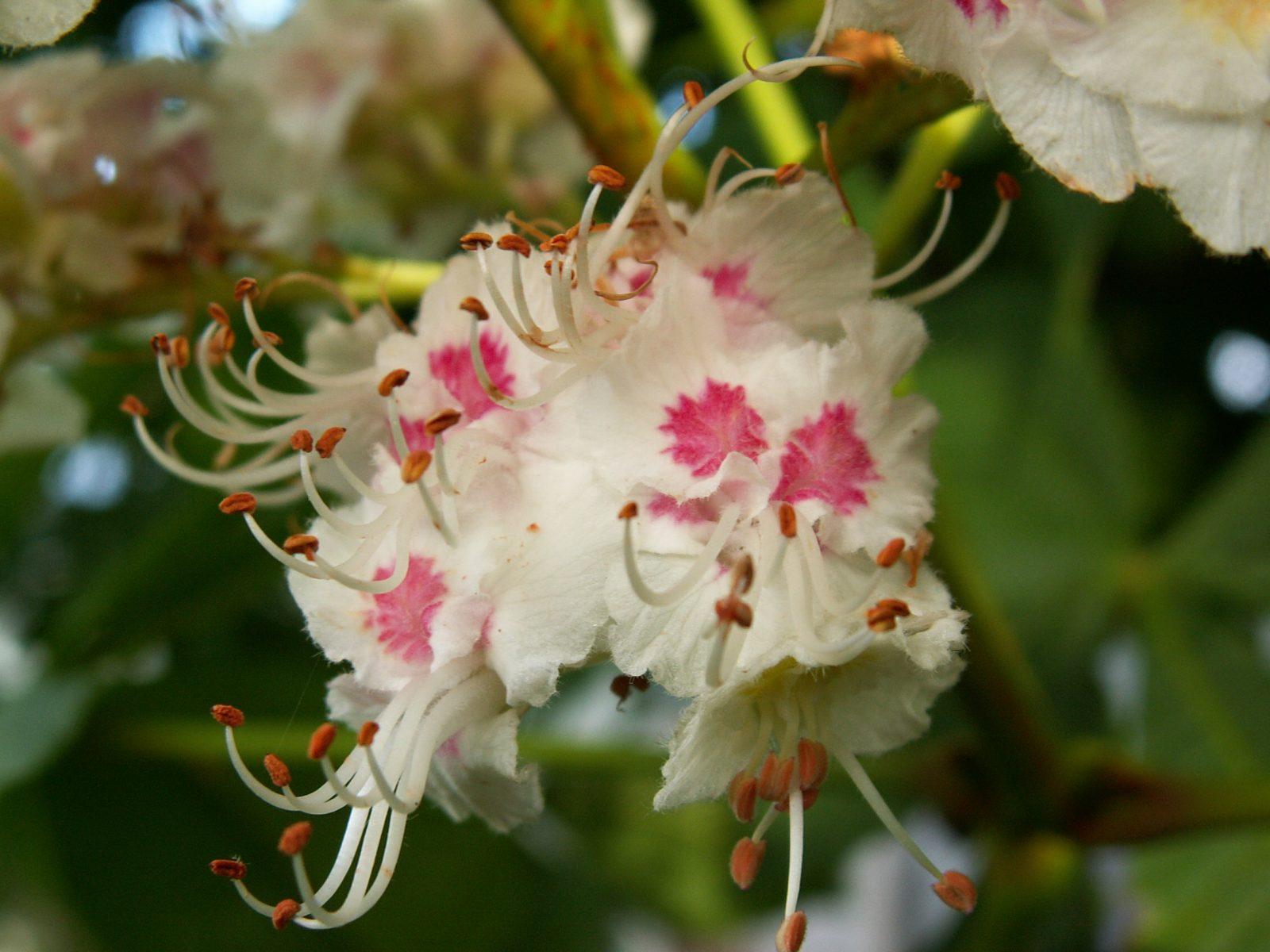 White Chestnut Aesculus Hippocastanum Fiori Di Bach Fiore